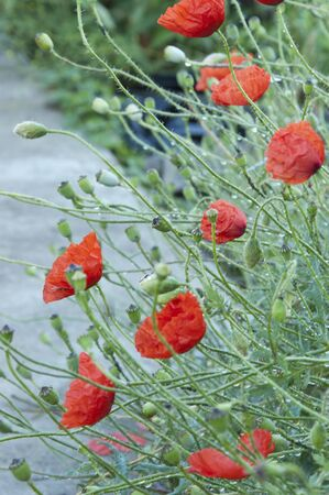 floriculture: The group of red poppies on the flowerbed close up Stock Photo