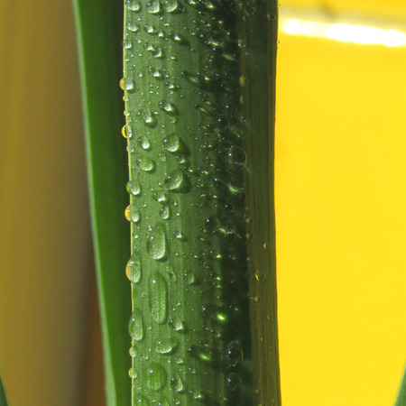 Hyacinth sprouuts with dew drops on yellow background close up