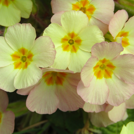 Group of yellow flowers of primula close up