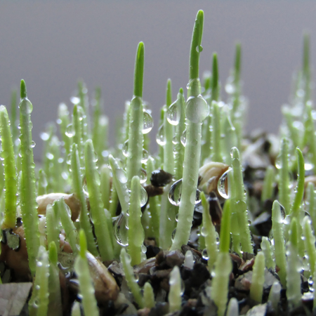 The group of wheat sprouts with dew drops close up