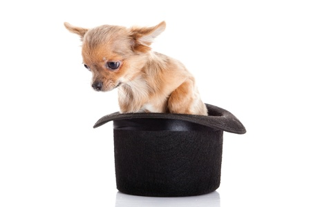 chihuahua and hat  isolated on white background photo