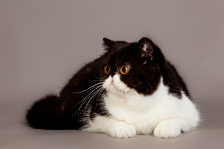 persian cat: cat on grey background Stock Photo