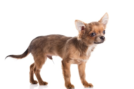 chihuahua isolated on white background photo