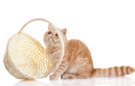 shopping basket: persian exotic cat isolated with shopping basket Stock Photo