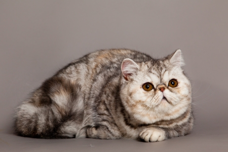 cat on grey background photo