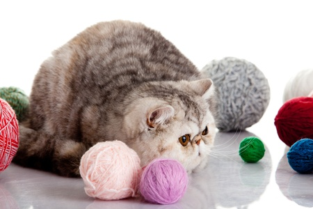 persian exotic cat isolated with balls of different colours photo