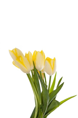 lila: tulips isolated on white background. colors