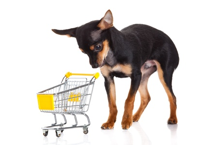 chihuahua with shopping trolly isolated on white background photo