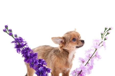 chihuahua and flowers isolated on white background photo