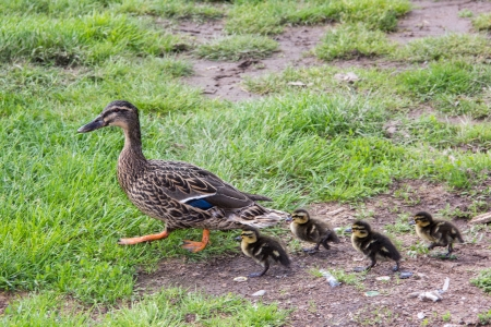 duck with ducklings.walk in city photo