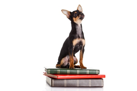 chihuahua on the books isolated on white background photo