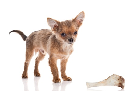 pappy: chihuahua and bone isolated on white background Stock Photo