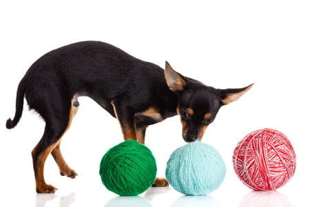 differnt: chihuahua and a ball of thread  isolated on white background
