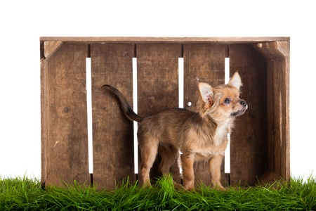 chihuahua in box isolated on white background photo