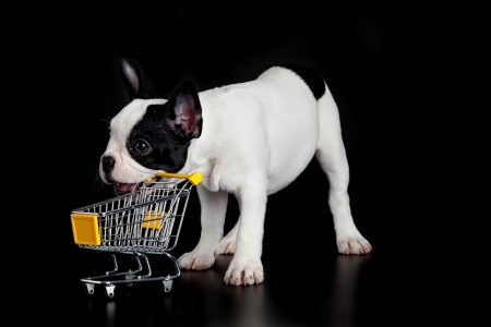 trolly: french bulldog with shopping trolly on black background
