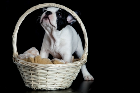 french bulldog with basket isolated on black background photo