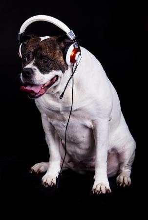musik: american bulldog on black background