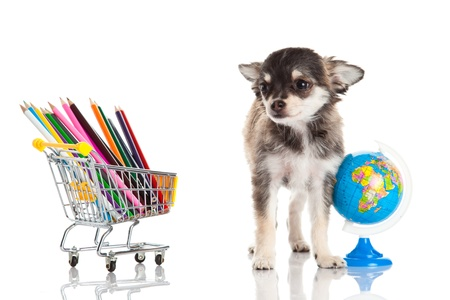 trolly: chihuahua isolated on white background Stock Photo