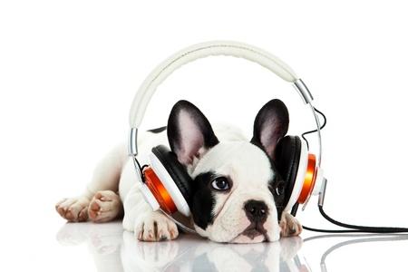 french bulldog with headphone isolated on white background photo