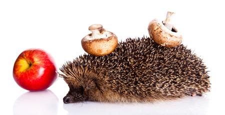 hedgehog isolated on white background photo