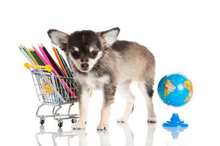 trolly: chihuahua isolated  Stock Photo