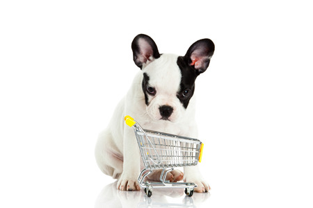 trolly: french bulldog with shopping trolly isolated on white background