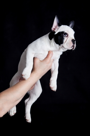 french bulldog on black background photo