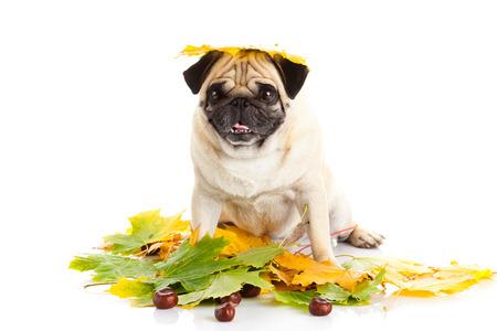 pug dog  isolated on white background, autumn Stock Photo