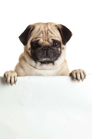 pug dog with bunner isolated on white background. design photo