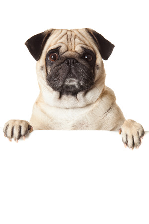a white background: pug dog with bunner isolated on white . design Stock Photo