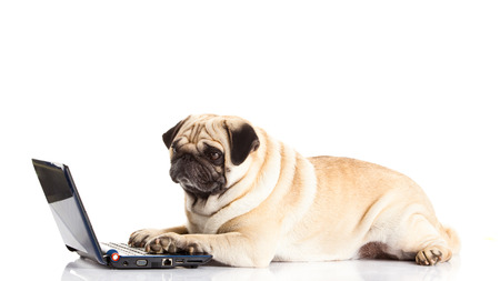 pug dog computer isolated on white background photo