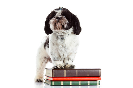 shih: shih tzu with books isolated on white background Stock Photo