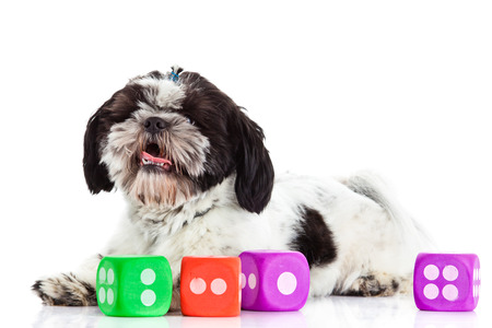 shih tzu with dices isolated on white background photo