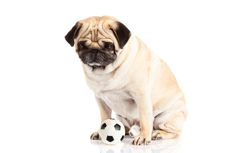 pug nose: pug dog  isolated on white , soccer  ball