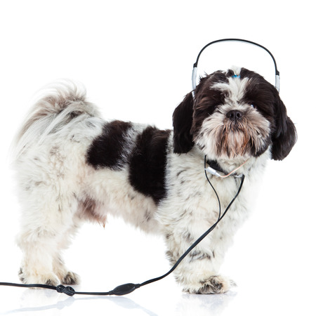 shih: Shih tzu isolated on white background dog and headphone