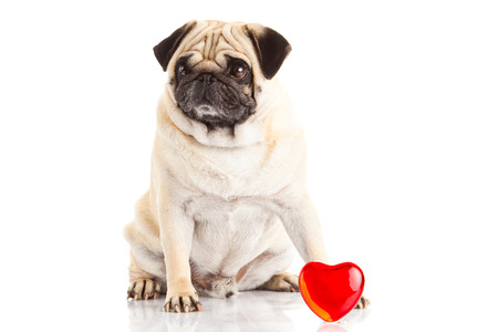 pug dog  und heart isolated on white background photo