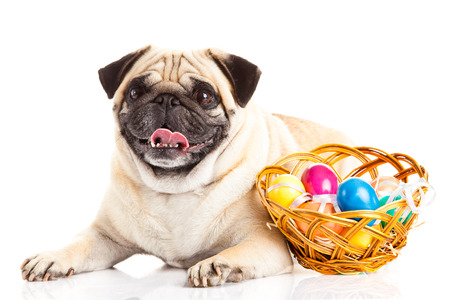 pug dog easter eggs  isolated on white background Stock Photo