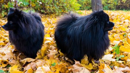 pomeranian: pomeranian dog. spitz