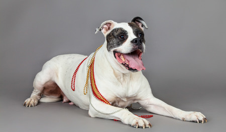 modell: american bulldog on grey background
