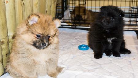 kleine Pommeren hond puppy Stockfoto