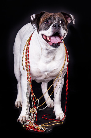 modell: american bulldog on black background glasses hair