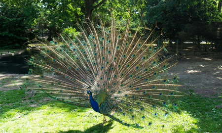 peahen: peacock Stock Photo