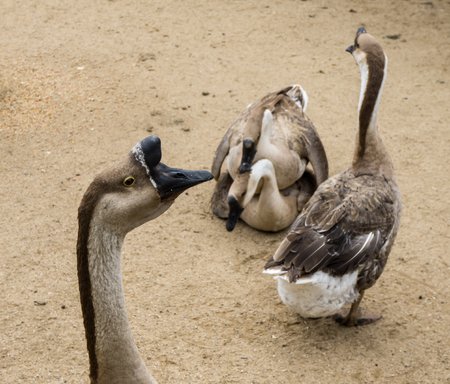 reproducing: goos mating reproducing geese birds Stock Photo