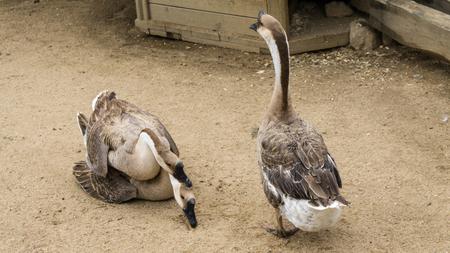 reproducing: goos mating reproducing geese birds Stock Photo