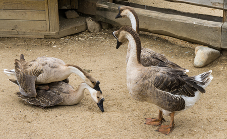 mating: goos mating reproducing geese birds Stock Photo