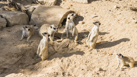 life guard stand: meercat meerkat Stock Photo