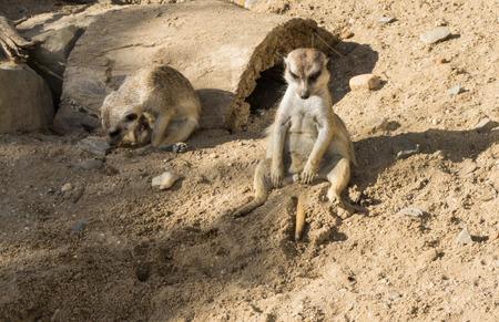 at meerkat: meercat meerkat Stock Photo