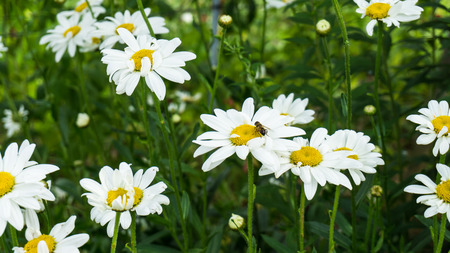 camomile: camomile flowers and bee