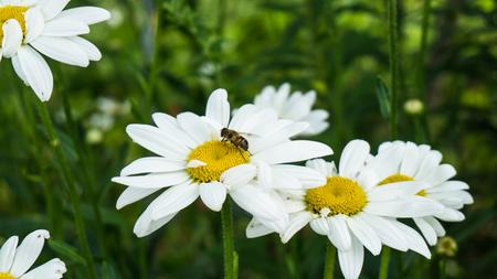 camomile tea: camomile flowers and bee