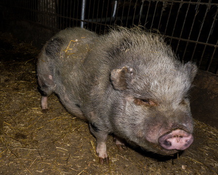 landrace: pig in the farm animals
